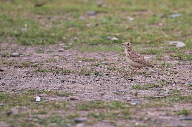 Oiseau skylark sur le terrain au pakistan