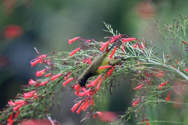 Oiseau-soleil à ventre jaune alimentant un nectar à partir de petites fleurs de pétard