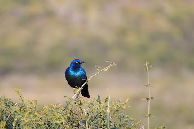 Oiseau sud-africain. étourneau à oreilles bleues du parc national addo elephant.