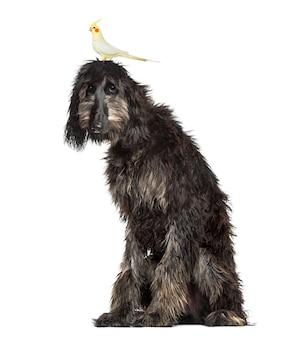 Oiseau sur la tête d'un lévrier afghan, isolé sur blanc
