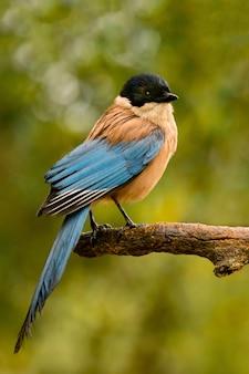Oiseau à tête noire et queue bleue sur une branche