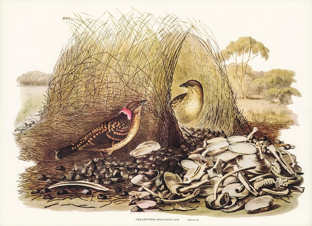 Oiseau tétras (chlamydera maculata) illustré par elizabeth gould