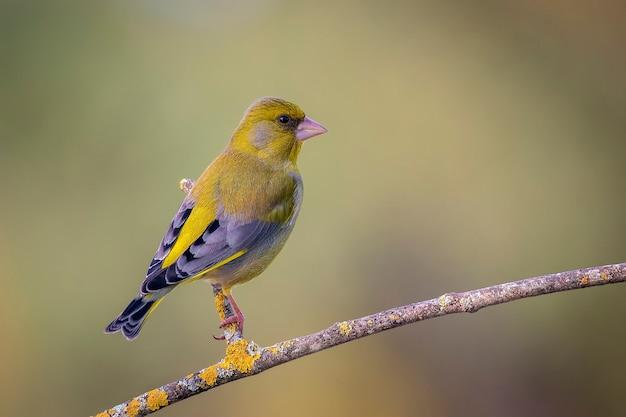 Oiseau verdier perché sur une fine branche.