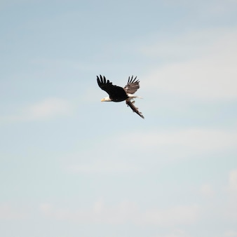 Oiseau en vol au-dessus du lac des bois, ontario