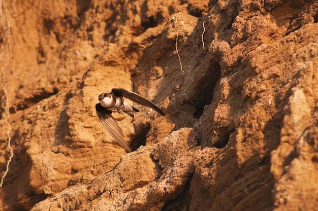 L'oiseau vole hors du vison dans la montagne de sable, yarovoye, altaï, sibérie, russie
