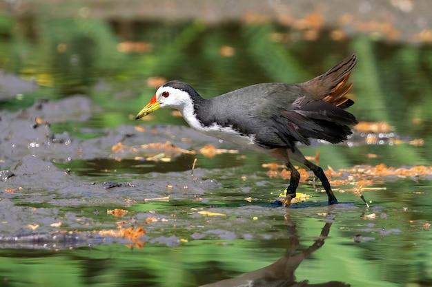 Oiseau waterhen à poitrine blanche cherche de la nourriture dans les marais
