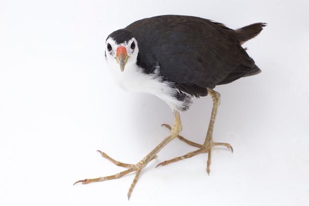 Oiseau waterhen à poitrine blanche isolé sur blanc