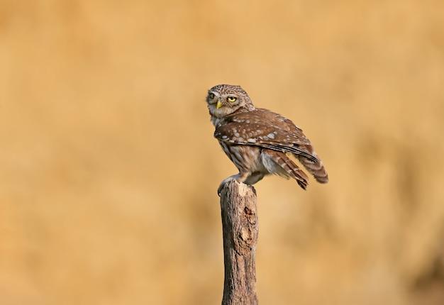 Les oiseaux adultes et petits poussins hibou athene noctua sont à bout portant