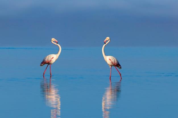Oiseaux africains sauvages deux flamants roses africains se promenant dans le lagon bleu par une journée ensoleillée