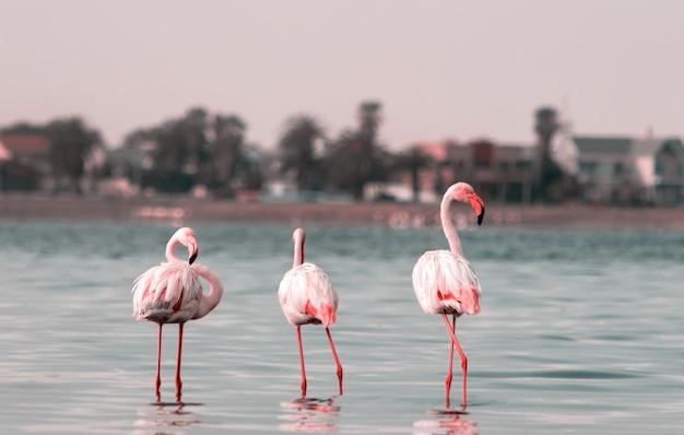 Oiseaux africains sauvages groupe de flamants roses africains se promenant dans le lagon et cherchant de la nourriture