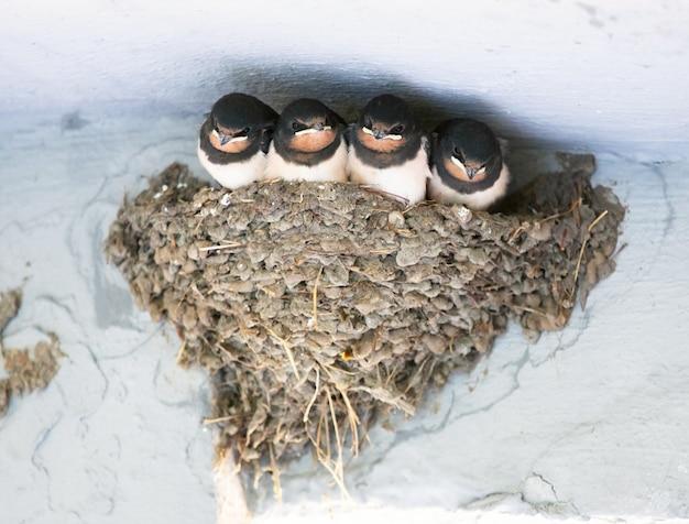 Oiseaux et animaux dans la faune. avaler. la jeune hirondelle rustique attend patiemment de se nourrir des parents