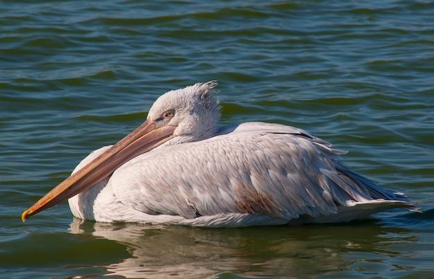 Oiseaux aquatiques oies canards cygnes mouettes pélicans