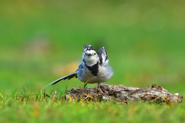 Oiseaux de bergeronnette blanche.