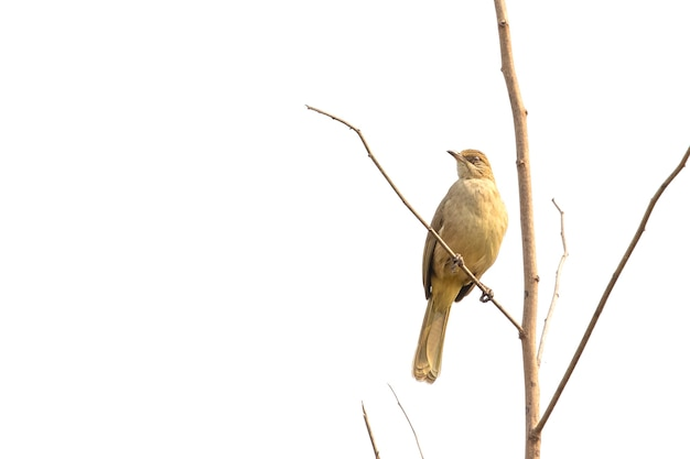 Oiseaux bulbul à oreilles striées sur la scène de la nature. animal. des oiseaux. (pycnonotus blanfordi)