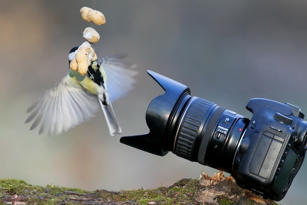 Oiseaux et caméras. grande mésange posant