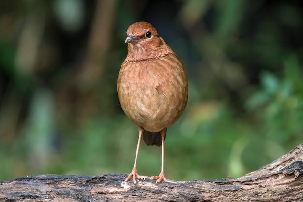 Oiseaux dans la nature, pitta oatesi
