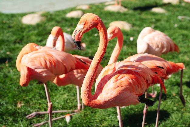 Oiseaux flamants roses au zoo