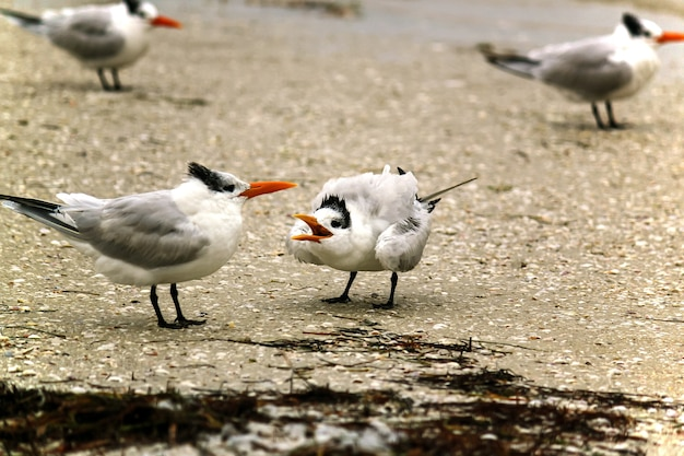 Oiseaux de mer sternidae debout sur le rivage pendant la journée