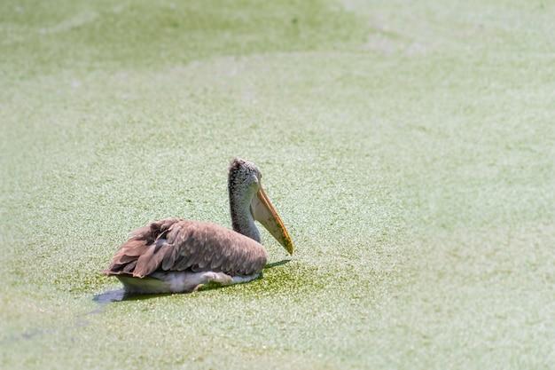 Oiseaux Mycteria Flottant Sur Un Lit De Mousse Photo Premium