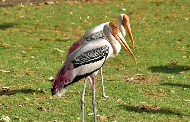 Les oiseaux de mycteria leucocephala vivent ensemble dans un troupeau tout en se relaxant.