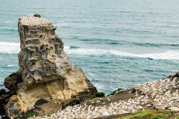 Oiseaux nichant et volant à muriwai beach, nouvelle-zélande