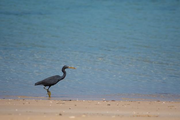 Les oiseaux noirs vivent au bord de la mer.
