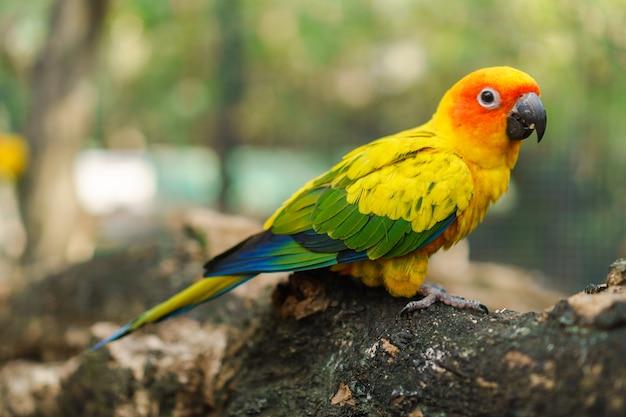 Oiseaux de perroquet de conure beau soleil coloré sur la branche d'arbre
