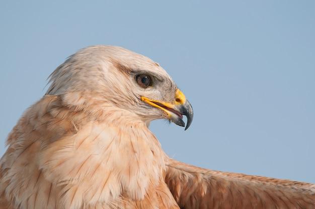Oiseaux de proie - buse variable (buteo buteo) dans le ciel. fermer