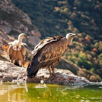 Oiseaux de proie vautour fauve gyps fulvus