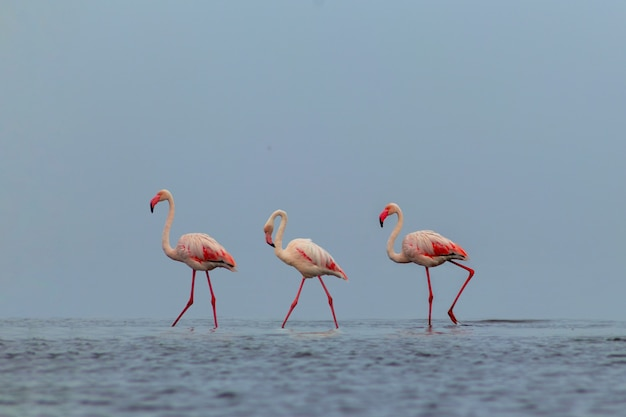Oiseaux sauvages d'afrique. groupe d'oiseaux de flamants roses africains se promenant dans le lagon bleu par une journée ensoleillée
