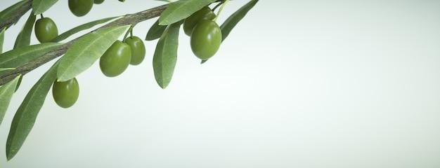 Olives sur l'arbre, branches sur blanc pour le texte