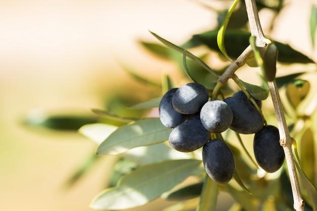 Olives noires italiennes sur une branche, avetrana, pouilles, italie