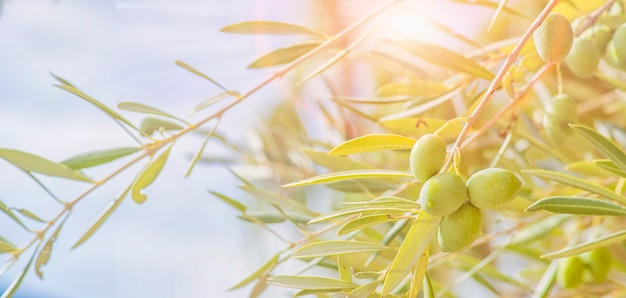 Olives sur olivier en automne. image nature saison