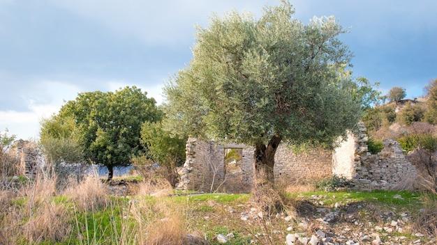 Olivier et autres arbres fruitiers dans le vieux village abandonné de trozena, chypre