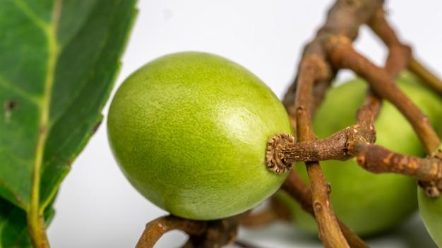 Olivier de ceylan elaeocarpus serratus