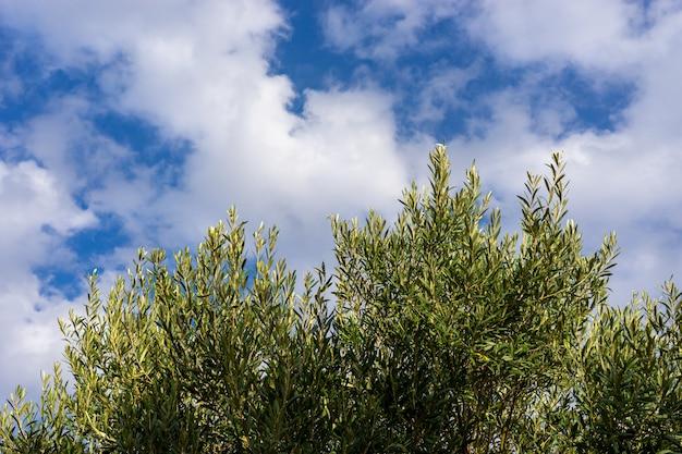 Un olivier avec des olives et un ciel bleu avec des nuages