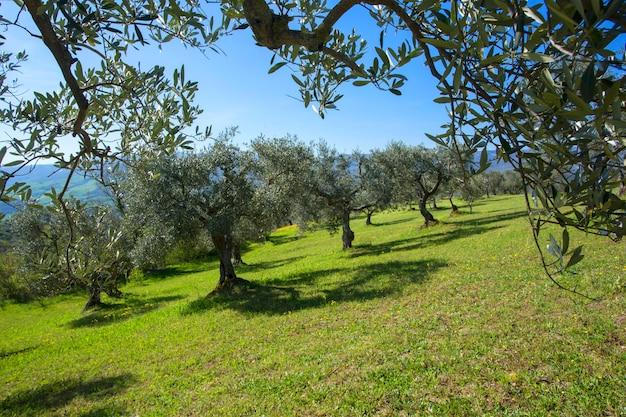 Oliviers d'affilée. plantation à la montagne, italie