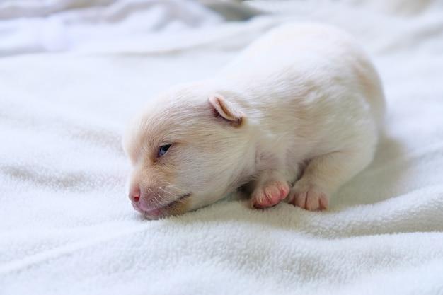 On dit que chihuahua est né avec un brunâtre