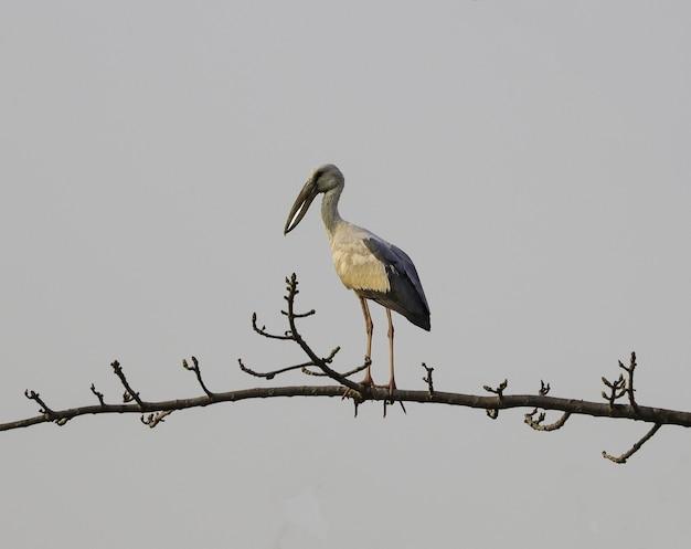 Openbill stork perché sur une branche
