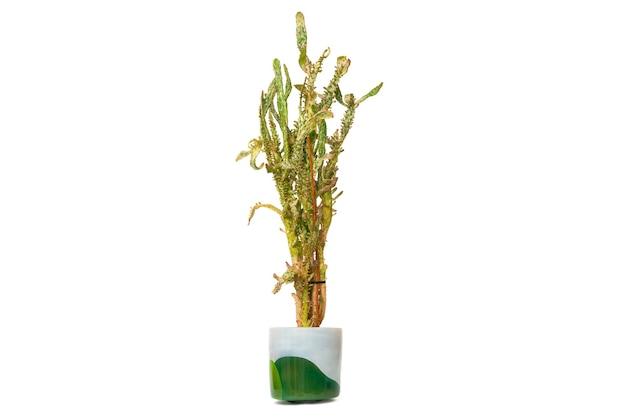 Opuntia monacantha - manteau cactus dans un pot isolé sur fond blanc.