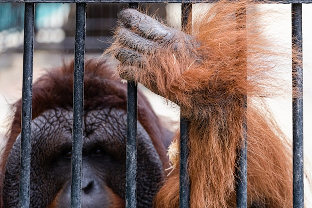Orang-outan au zoo