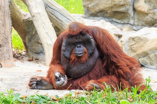 Orang-outan de bornéo (pongo pygmaeus) en thaïlande
