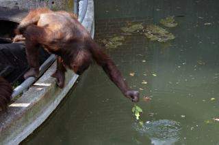 Orang-outan qui s'étend de la nourriture