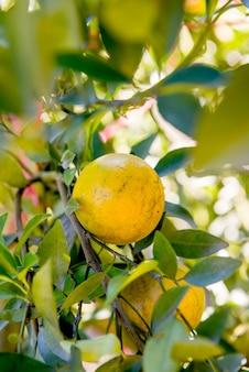 Orange, régime fruit frais pour jus