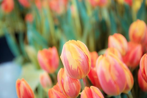 Orange de tulipe en hiver.
