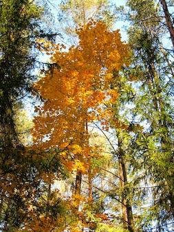 Oranger pittoresque dans la forêt d'automne par une journée ensoleillée