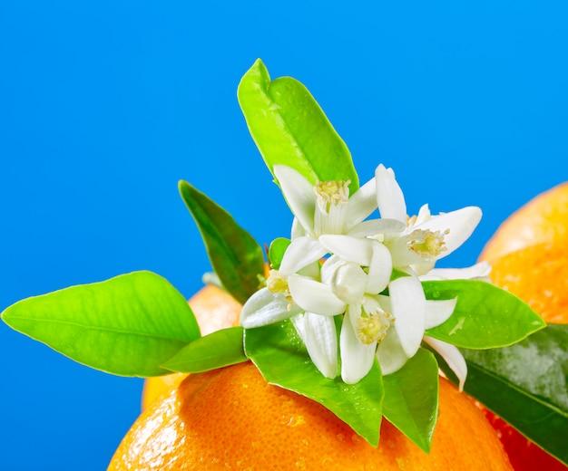 Oranges avec des fleurs de fleur d'oranger sur bleu