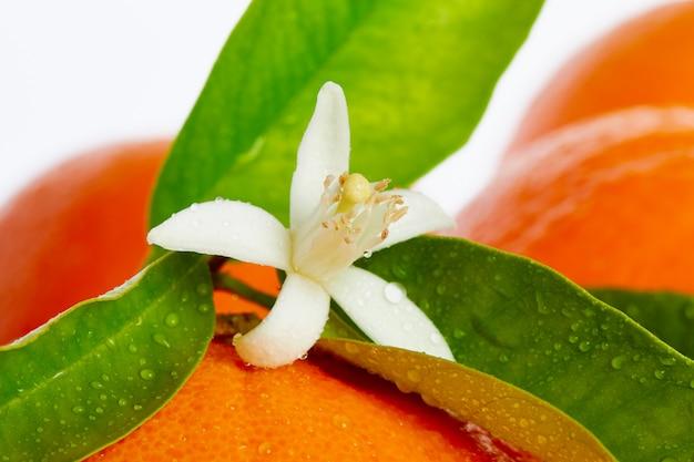 Oranges avec des fleurs d'oranger sur blanc