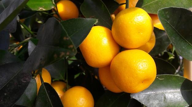 Oranges jaunes avec des feuilles vertes sur l'oranger