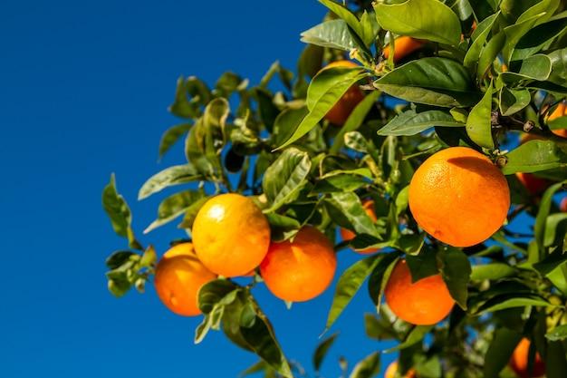 Oranges juteuses sur une branche sur fond de ciel bleu.